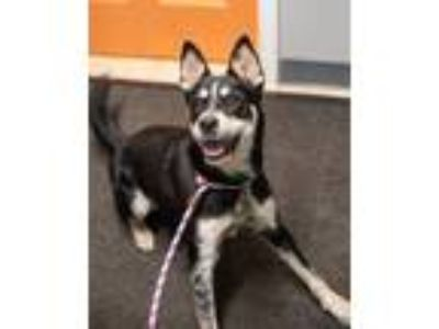 Adopt Duthess - available 6/23 a German Shepherd Dog, Black and Tan Coonhound