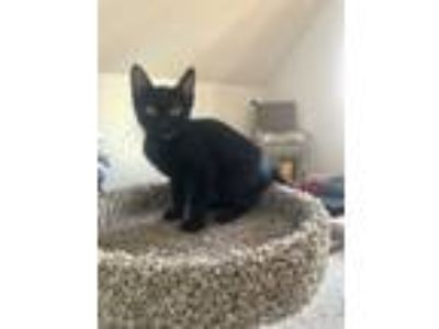Adopt Jojo and Bubble a American Shorthair