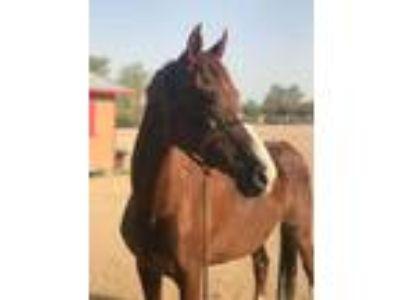 Adopt Strikes Foxfire a Arabian, Saddlebred