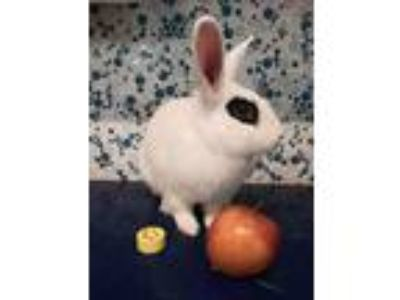 Adopt Thumper a White Blanc de Hotot / Mixed (short coat) rabbit in Paramount