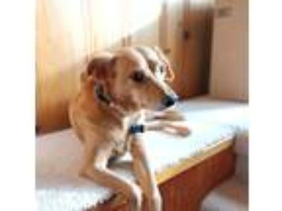 Adopt Dory a Tan/Yellow/Fawn - with White Dachshund / German Shepherd Dog /