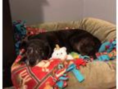 Adopt Macy a Black - with Gray or Silver Labrador Retriever / Mixed dog in