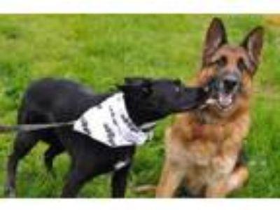 Adopt Nina a Border Collie, German Shepherd Dog