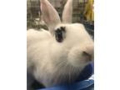 Adopt Ardell a White Blanc de Hotot / Mixed (short coat) rabbit in Livermore