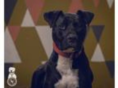Adopt Buddy a Black Labrador Retriever / Pit Bull Terrier / Mixed dog in