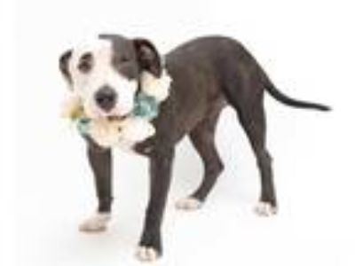 Adopt LALA a Black - with White American Pit Bull Terrier / Mixed dog in