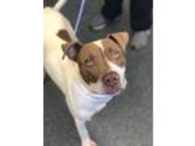 Adopt KIRK a White - with Brown or Chocolate American Pit Bull Terrier / Mixed