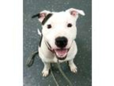 Adopt CONNOR 38874 a Pit Bull Terrier