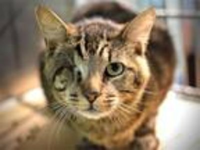 Adopt Groot a Domestic Shorthair / Mixed cat in Portland, OR (25518551)