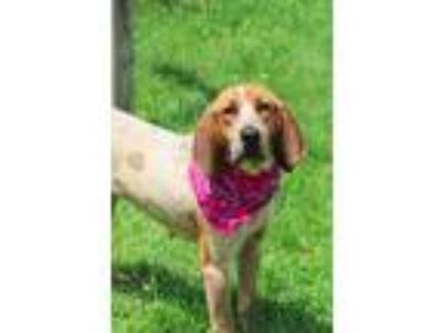 Adopt Sweetpea a Hound, Mixed Breed