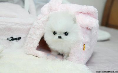 Pomeranian puppies Now ready