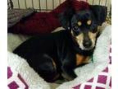 Adopt Rudy a Black Dachshund / Mixed dog in Appleton, WI (25317408)