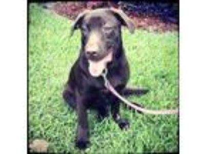 Adopt Moscato a Brown/Chocolate Labrador Retriever / Mixed dog in Grand Bay