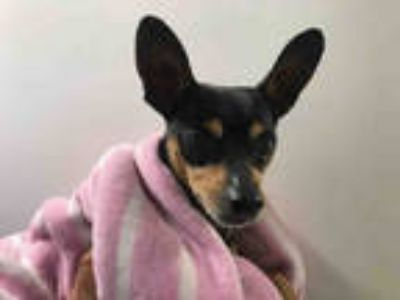 Adopt GOKU a Black - with Tan, Yellow or Fawn Miniature Pinscher / Mixed dog in