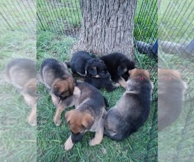 German Shepherd Dog PUPPY FOR SALE ADN-130613 - Beautiful AKC German Shepard Puppies