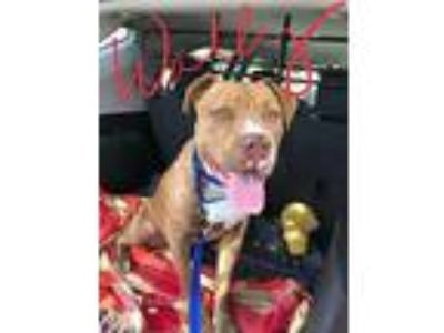 Adopt Wally a Pit Bull Terrier