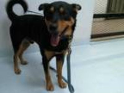 Adopt BANDIT a Black - with Tan, Yellow or Fawn Rottweiler / Mixed dog in