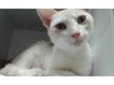 Adopt Goldie a Tan or Fawn Domestic Shorthair / Domestic Shorthair / Mixed cat
