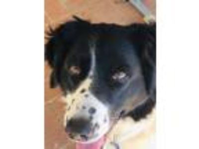Adopt ESMERALDA a Black - with White Border Collie / Mixed dog in San Pedro