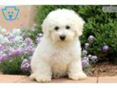 Dallas - Bichon Male