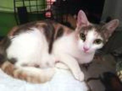 Adopt Matilda Merriweather a Calico or Dilute Calico Calico (short coat) cat in