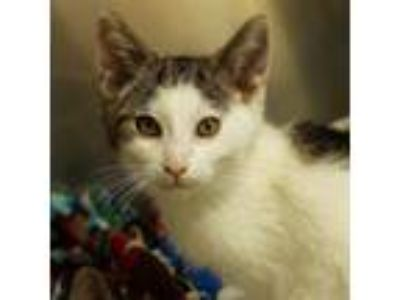 Adopt Waldo a White Domestic Shorthair / Domestic Shorthair / Mixed cat in Ann
