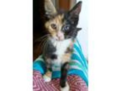 Adopt Snickers a Tortoiseshell Domestic Shorthair (short coat) cat in Wamego