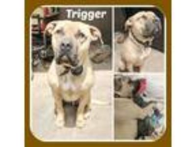 Adopt TRIGGER a Staffordshire Bull Terrier