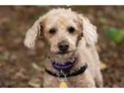 Adopt Charlie a Red/Golden/Orange/Chestnut Poodle (Miniature) / Mixed dog in