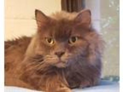 Adopt Greyson a Gray or Blue Domestic Longhair (long coat) cat in Grayslake