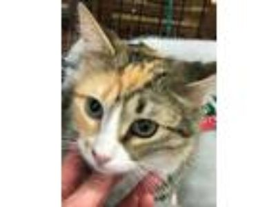 Adopt Belle a Calico or Dilute Calico Domestic Shorthair cat in Dallas