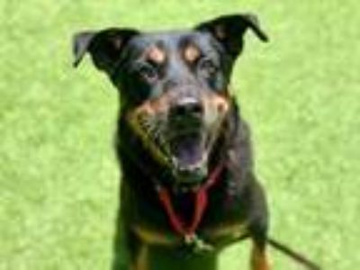 Adopt SHADOW a Black - with Tan, Yellow or Fawn Rottweiler / Mixed dog in West