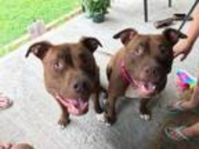 Adopt Ugg & Cupid (Bonded Pair) a Boxer, Mixed Breed