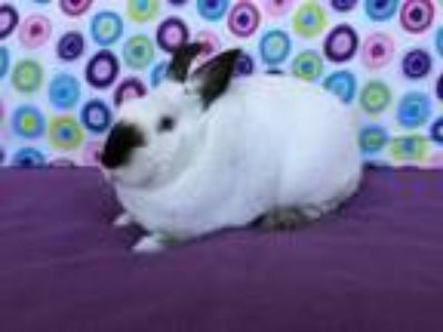 Adopt Polly Pocket a Himalayan, Bunny Rabbit
