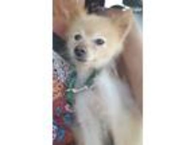 Adopt Lionel a Red/Golden/Orange/Chestnut - with Black Pomeranian / Mixed dog in