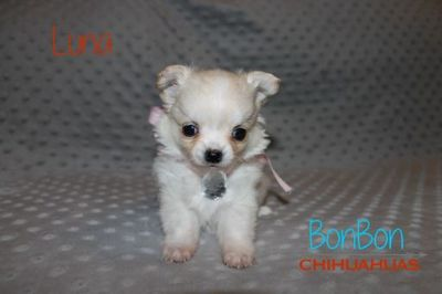 Chihuahua PUPPY FOR SALE ADN-97060 - AKC Chihuahua Puppies Champion Bloodlines