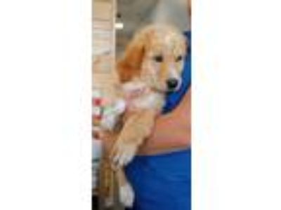 Adopt 3 golden retriever mix pups a Tan/Yellow/Fawn Golden Retriever / Labrador