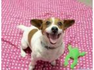 Adopt Bart a Brown/Chocolate Jack Russell Terrier / Mixed dog in South Elgin