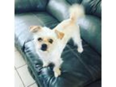 Adopt Rocky 4790 a Tan/Yellow/Fawn Shih Tzu / Terrier (Unknown Type