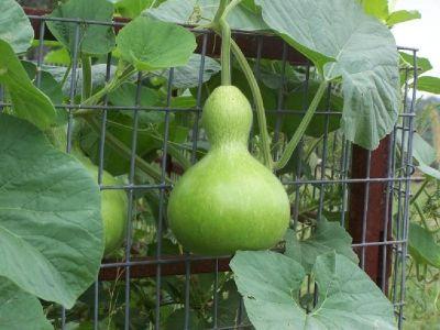 Gourds / Mullbery Trees / Castor Bean Trees /
