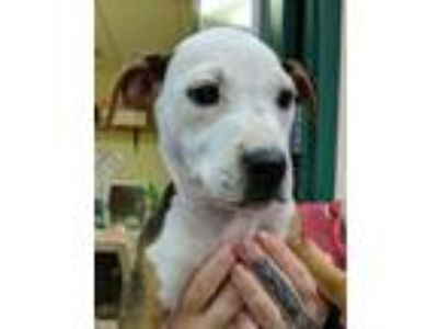 Adopt Daisy a Pit Bull Terrier