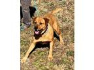 Adopt Angel a Red/Golden/Orange/Chestnut Golden Retriever / Rottweiler / Mixed