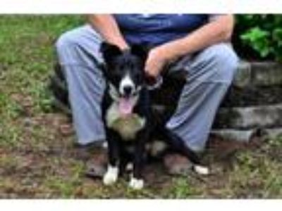 Adopt Ruby a Border Collie