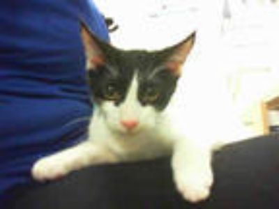 Adopt PAUL a White (Mostly) Domestic Shorthair / Mixed (short coat) cat in