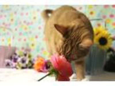 Adopt Hannah Meowntana a Orange or Red Tabby Domestic Shorthair (short coat) cat
