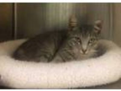 Adopt Relmon a Gray or Blue Domestic Shorthair / Domestic Shorthair / Mixed cat