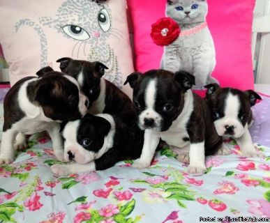 Boston Terrier Puppies For Loving Homes