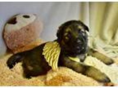 Adopt KingOtto a Brown/Chocolate - with Black German Shepherd Dog / Mixed dog in