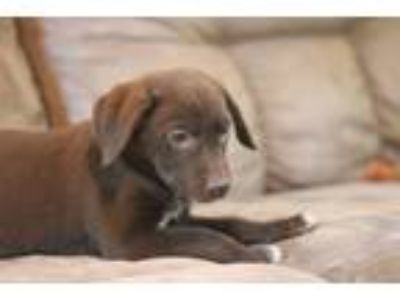 Adopt August a Labrador Retriever, Mixed Breed