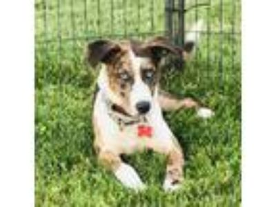Adopt Judy Blue Eyes a Australian Shepherd / Catahoula Leopard Dog / Mixed dog
